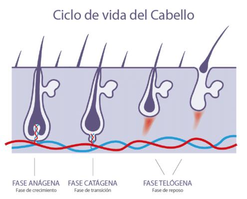 Ciclo de vida del cabello - Face Clinic Madrid