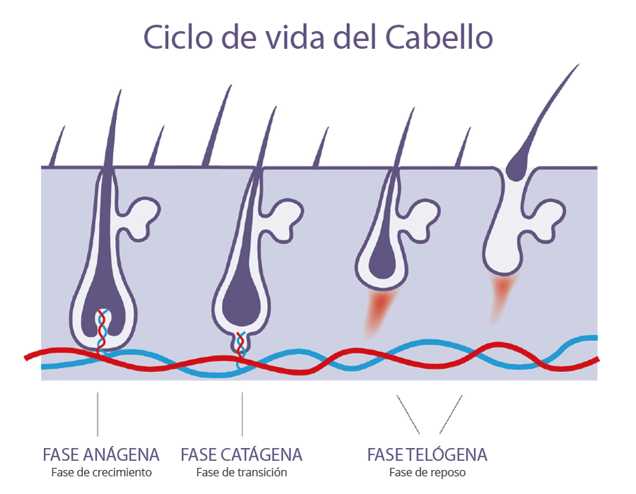 Ciclo de vida del cabello - Face Clinic Madrid